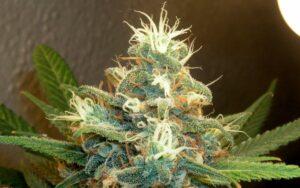 marijuana plant bud